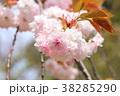 桜 開花 花の写真 38285290