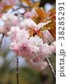 桜 開花 花の写真 38285291