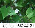 豆朝顔 花言葉は「見つけたら幸せ」 38288121
