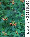 猩猩草 ショウジョウソウ 花言葉は「祝福」 38288140