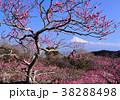 富士山 花 梅の写真 38288498