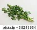 パクチー 香味野菜 シャンツァイの写真 38289954