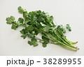 パクチー 香味野菜 シャンツァイの写真 38289955