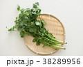 パクチー 香味野菜 シャンツァイの写真 38289956