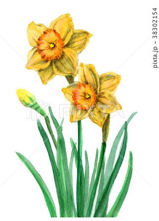 水彩で描いた黄ズイセン 38302154