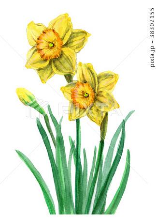 水彩で描いた黄ズイセン 38302155