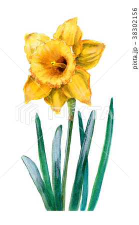 水彩で描いた黄色のラッパズイセン 38302156