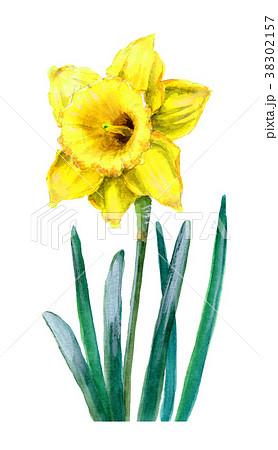 水彩で描いた黄色のラッパズイセン 38302157