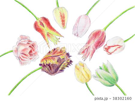 色鉛筆で描いたチューリップ 38302160