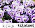 ビオラ 花 花びらの写真 38303095