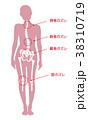 骨 骨格 女性のイラスト 38310719