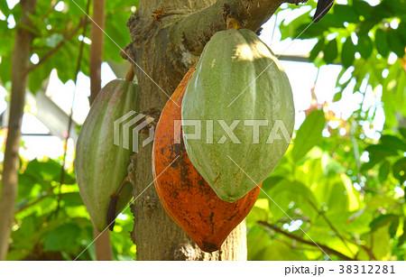 樹木:カカオノキ アオギリ科の...