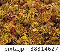 秋 ゼラニウム ゼラニュームの写真 38314627
