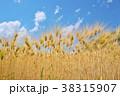 麦秋の六条大麦 38315907