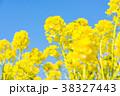 花 菜の花 菜の花畑の写真 38327443