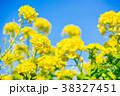 花 菜の花 菜の花畑の写真 38327451