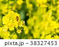 【神奈川県】菜の花 38327453
