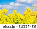 花 菜の花 菜の花畑の写真 38327456