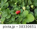 いちご 苺 いちご狩りの写真 38330651
