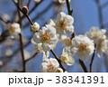 ウメ 梅 花の写真 38341391