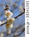 ウメ 梅 花の写真 38341393