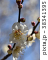 ウメ 梅 花の写真 38341395