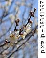 ウメ 梅 花の写真 38341397