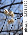 ウメ 梅 花の写真 38341399