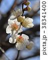 ウメ 梅 花の写真 38341400