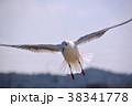 ユリカモメ 鳥 水鳥の写真 38341778