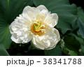蓮の花 古代蓮 花の写真 38341788