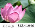 蓮の花 古代蓮 花の写真 38341940
