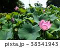 蓮の花 古代蓮 花の写真 38341943