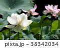 蓮の花 古代蓮 花の写真 38342034