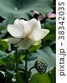 蓮の花 古代蓮 花の写真 38342035