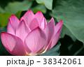蓮の花 古代蓮 花の写真 38342061