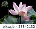 蓮の花 古代蓮 花の写真 38342132