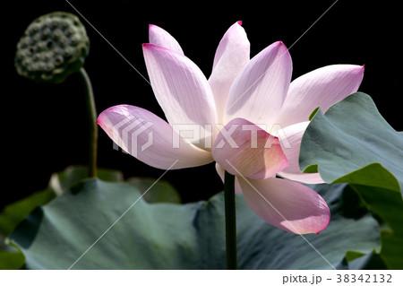 鹿央古代の森 古代ハス園のハスの花 38342132