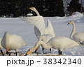 白鳥 ハクチョウ 冬の写真 38342340