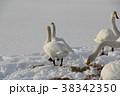 白鳥 ハクチョウ 冬の写真 38342350