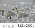 白鳥 ハクチョウ 冬の写真 38342351