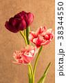 チューリップ 赤 ピンクの写真 38344550