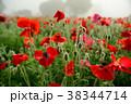 ポピー 雛罌粟 花畑の写真 38344714