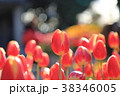 江の島サムエル・コッキング苑 チューリップ 花の写真 38346005
