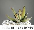 多肉植物 38346745