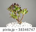 多肉植物 38346747