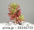 多肉植物 38346750