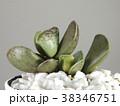 多肉植物 38346751