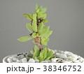 多肉植物 38346752