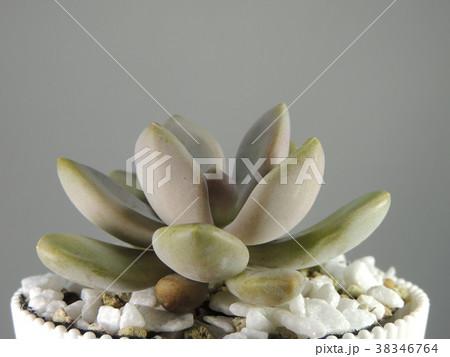 多肉植物 38346764